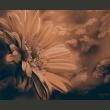 Fototapeta - Gerbera w brązach A0-LFTNT0534