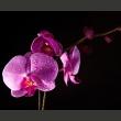 Fototapeta - gustowny  storczyk A0-LFTNT0541
