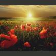 Fototapeta - Makowe pola - poranek A0-F4TNT0016-P