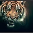 Fototapeta - Tygrys bengalski A0-LFTNT0741